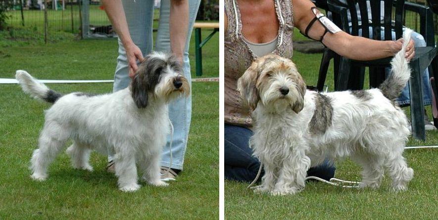 Petit basset griffon vendeen puppies feu litter - Petit basset griffon vendeen breeders toulon ...